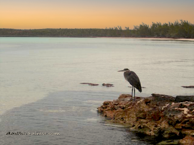 things to do heron birding eleuthera